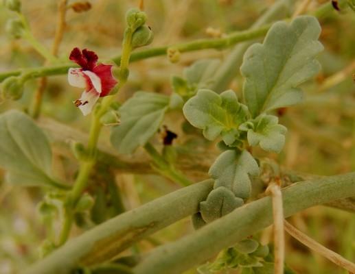 לוענית המדבר Scrophularia deserti Delile