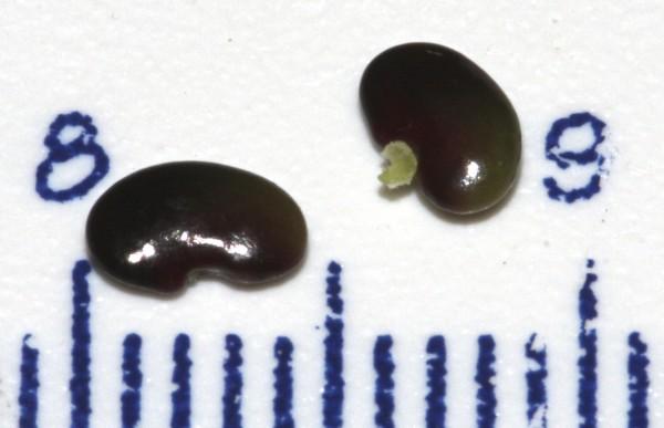 אספסת ריסנית Medicago ciliaris (L.) All.