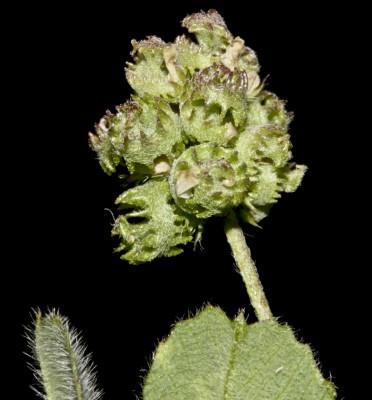 אספסת הכתרים Medicago coronata (L.) Bartal.