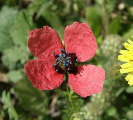 פרג זיפני Papaver hybridum L.