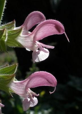 Salvia hierosolymitana Boiss.