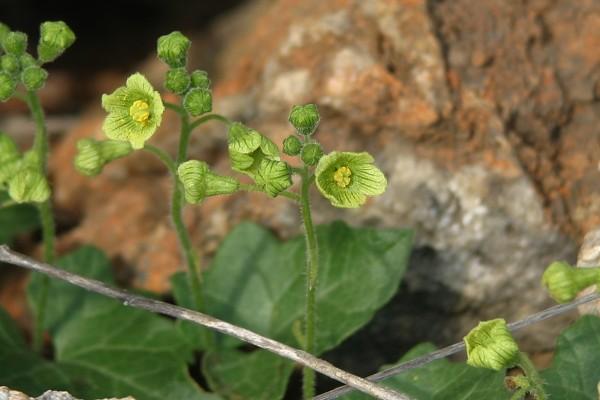 דלעת-נחש סורית Bryonia syriaca Boiss.