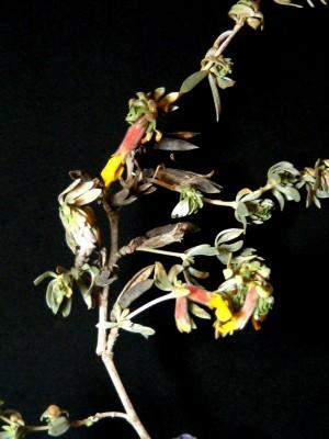 אכסף מבריק Cytisopsis pseudocytisus (Boiss.) Fertig