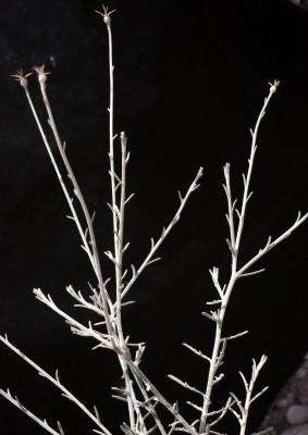 דרדר המכבד Centaurea scoparia Sieber ex Spreng.