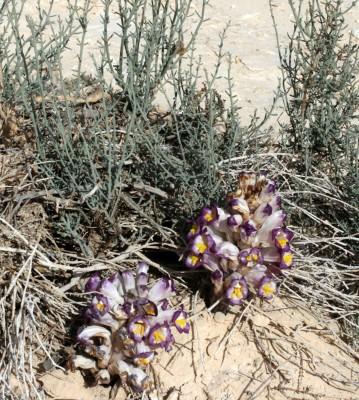 יחנוק המלחות Cistanche violacea (Desf.) Hoffmanns & Link