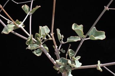 צמחים שעירים, שפת העלה משוננת או חרוקה, השיניים מרוחקות אחת מהשניה.