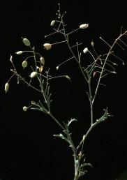 הפירות ערוכים באשכול מרווח הנושא פירות דמויי ביצה על עוקצים ארוכים ודקים. הזרעים בעלי כנף ברורה.