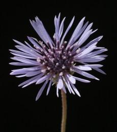 פרחי הקרקפת בצבע כחול ולאחר הפריחה נעשים ורודים.