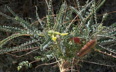 צמחי מדבר. אורך התרמיל 8-5 ס