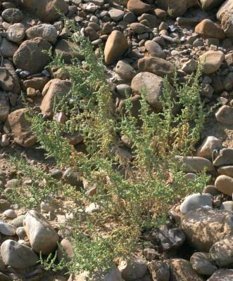 מלחית קשקשית Salsola tetrandra Forssk.