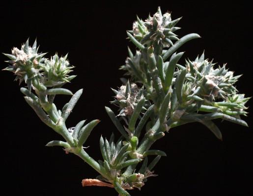 רב-גולה ערבי Sclerocephalus arabicus Boiss.