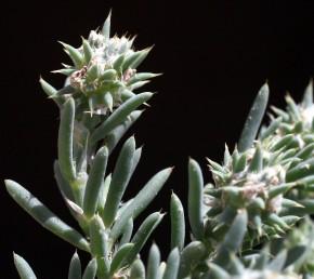 עשבים חד-שנתיים קטנים וזקופים, גדלים במדבר. העלה מסתיים בקוץ. התפרחת קרקפת בה החפים ועלי-הגביע קוצניים.