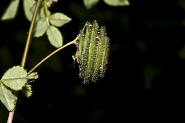 אספסת עדשתית Medicago orbicularis (L.) Bartal.