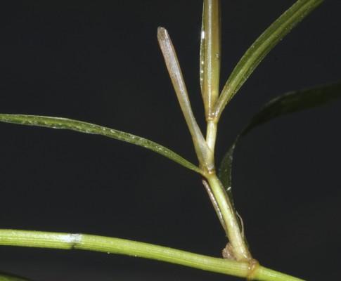 נהרונית קרומית Potamogeton berchtoldii Fieber
