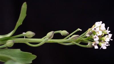 עשבים חד-שנתיים קירחים ושרועים. עלי-הכותרת לבנים. הפרי כדורי או דמוי ביצה, פניו מרושתים, אינו נפתח ובו זרע יחיד.