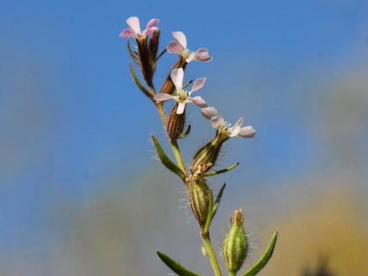 ציפורנית צרפתית Silene gallica L.