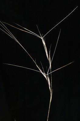 תלת-מלען ארוך Aristida sieberiana Trin.