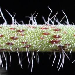 עשבים חד-שנתיים. הגבעולים מכוסים שערות צפופות וזיפים דלילים ארוכים.