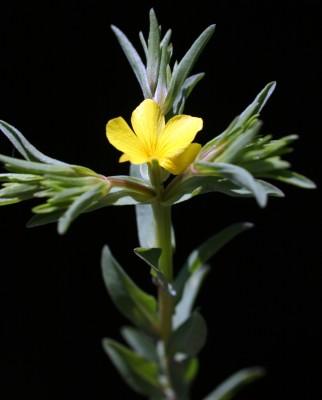 פשתה מצויה Linum nodiflorum L.