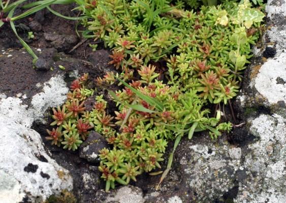 צורית ספרדית Sedum hispanicum L.