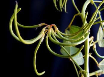 הפרחים והפירות ערוכים במעין שיבולת או באשכול צפוף או מרווח.