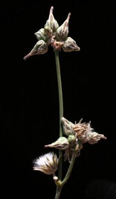 לוניאה מגובבת Launaea capitata (Spreng.) Dandy