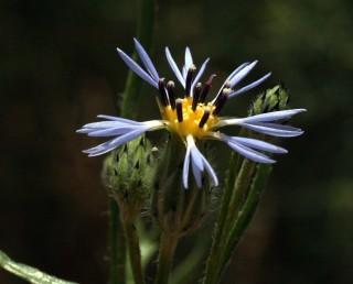 פרחי ההיקף כחולים, פרחי המרכז כתומים. חפי-המעטפת בעלי קצה שחור או חום כהה.