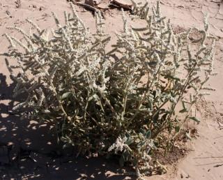 עשבים רב-שנתיים בעלי בסיס מעוצה. צמחי מדבריות חמים, מלבינים.