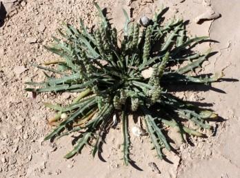 צמחי קרקעות לס וליתוסולים, בעלי עלים ארוכים מהתפרחות או שווים להן. קוטר עוקץ התפרחת 1.5—3 מ