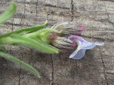 לשון-פר מזרחית Anchusa ovata Lehm.