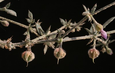 הגביע אינו נושר לאחר הפריחה ומלווה את הפרי.
