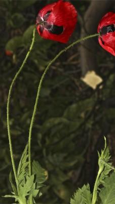 פרג הכרמל Papaver carmeli Feinbrun