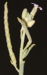 צמחים אפורים בהשפעת מעטה צפוף של שערות כוכביות הדוקות.