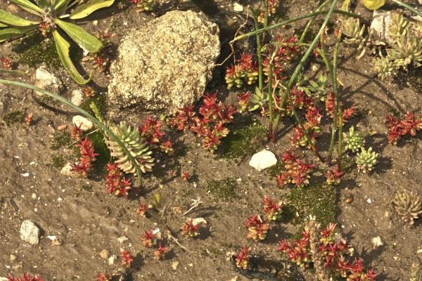 צורית אדומה Sedum caespitosum (Cav.) DC.