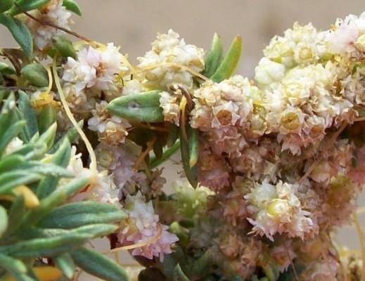 כשות שטוח-פרחים Cuscuta planiflora Ten.