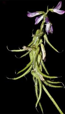 Trigonella lilacina Boiss.