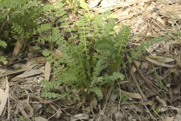 קדד הקרקפות Astragalus oocephalus Boiss.