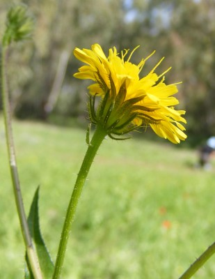 מררית הגליל Picris galilaea (Boiss.) Eig