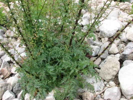 לוענית גדולה Scrophularia rubricaulis Boiss.