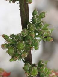 עלים גזורים גדולים בבסיס הצמח. התפרחות נישאות על עמודי תפרחת ארוכים וזקופים.