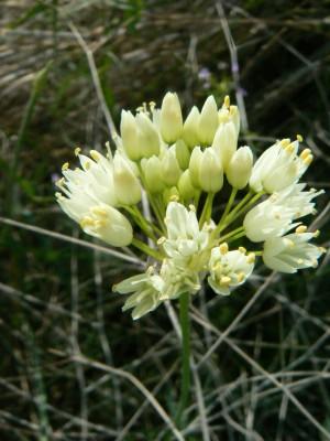 שום קטן-פרחים Allium qasyunense Mouterde