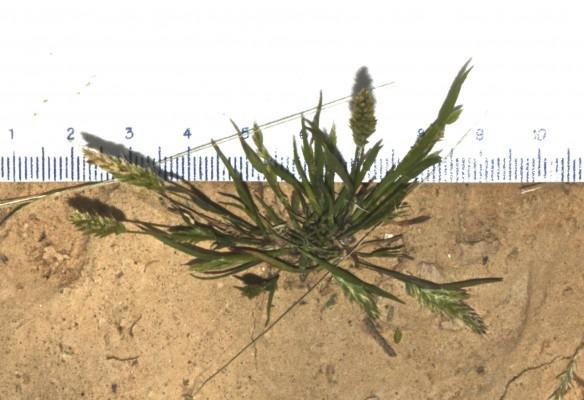דגנין גמוד Rostraria pumila (Desf.) Tzvelev