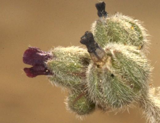 הילל מקומט Paracaryum rugulosum (DC.) Boiss.