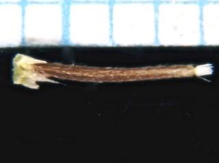 ישומון נימי Leysera leyseroides (Desf.) Maire