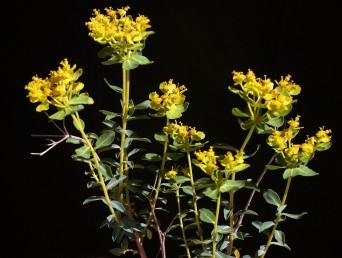 עלי-מעטפת הסוכך מצהיבים לקראת עונת הפריחה והשיחים מצהיבים למרחוק.