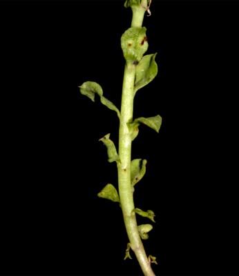 חלבלוב מחורץ Euphorbia aulacosperma Boiss.