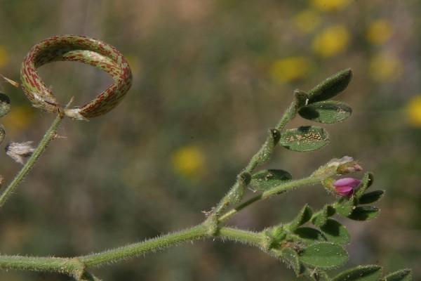 קדד הטבעות Astragalus annularis Forssk.