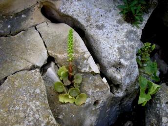 עשבים רב-שנתיים בעלי פקעת. העלים בשרניים, התחתונים בשושנת, בעלי פטוטרת, עגולים ודמויי תריס. התפרחת לא מסועפת.