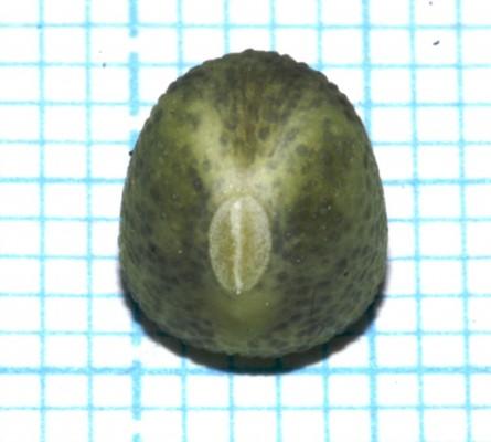 טופח חד-שנתי Lathyrus annuus L.
