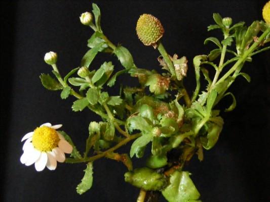 קחוון החוף Anthemis leucanthemifolia Boiss. & Blanche